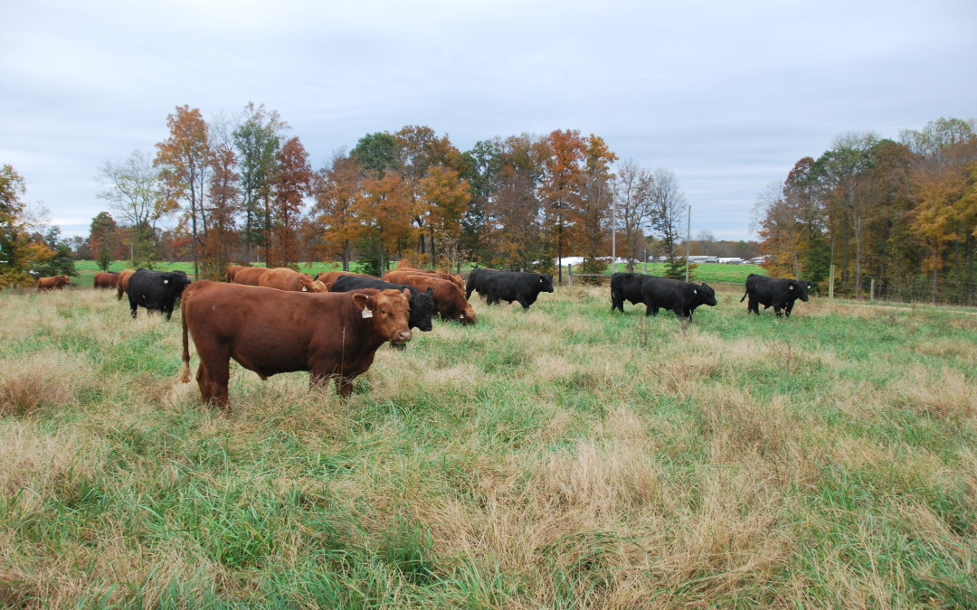 Managing Yearling Bulls