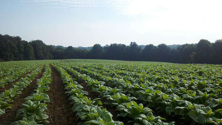 Tobacco Fields at Red Hill Farms