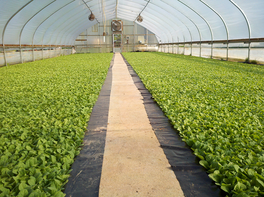 Growing tobacco in greenhouse