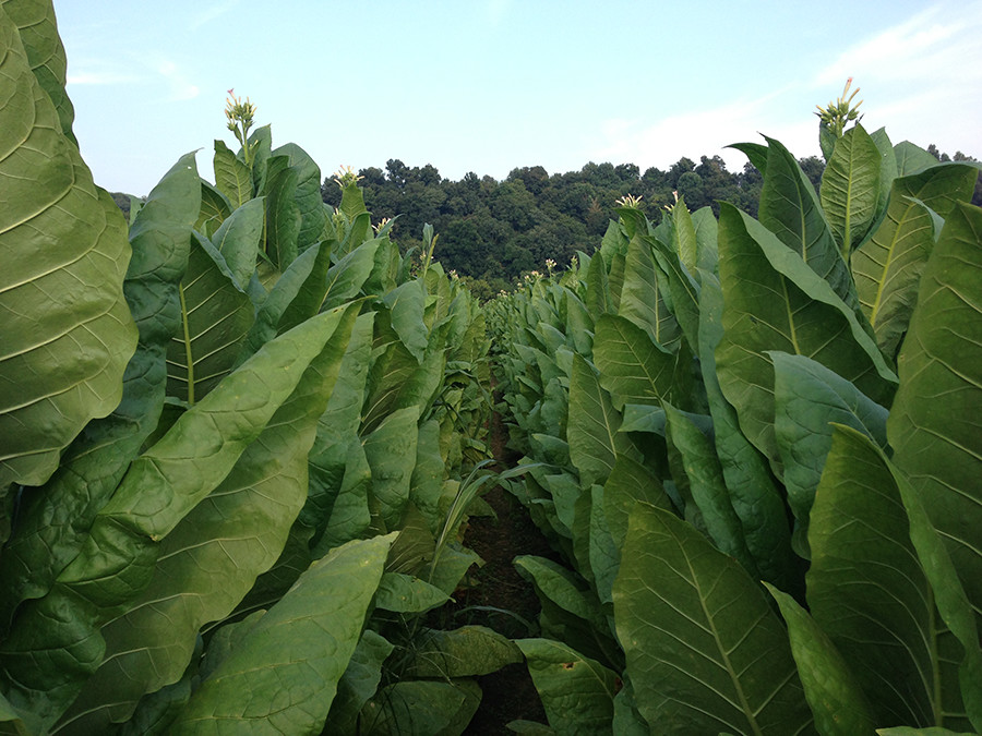 Red Hill Farms Tobacco Growing