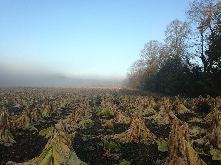 Red Hill Farms Tobacco Field in Mist
