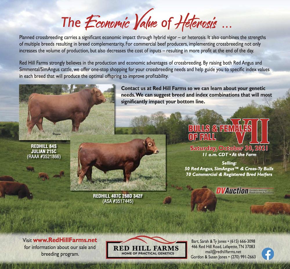 bullsandfemalesoffallVII-redhillfarms